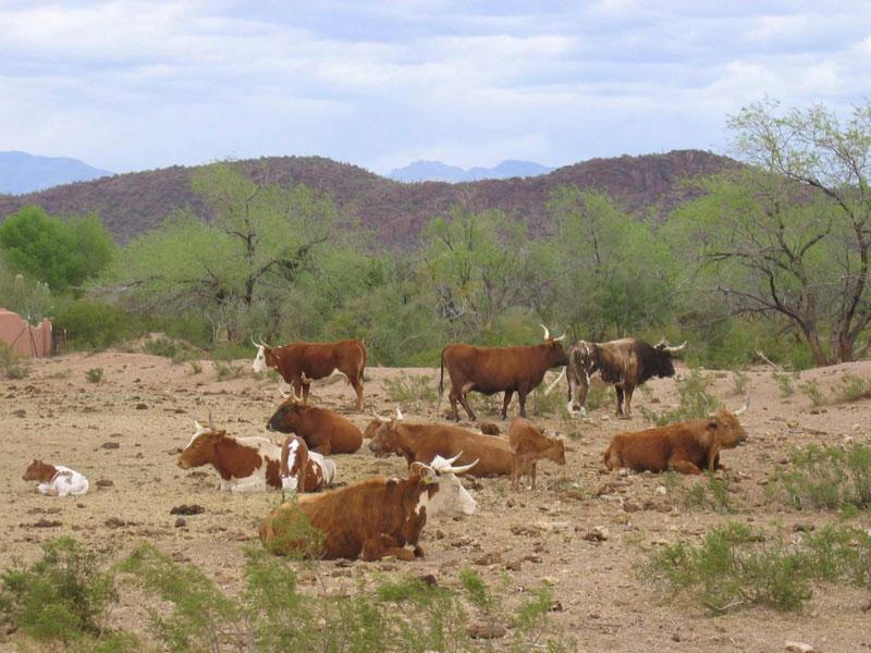 White Stallion Ranch Cattle