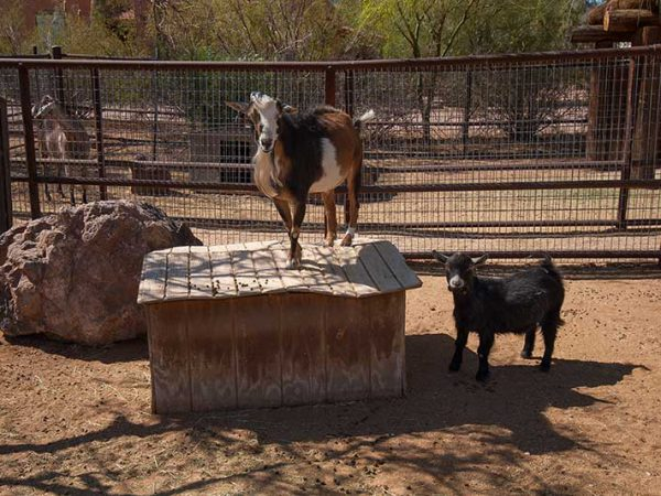 White Stallion Ranch Petting Zoo